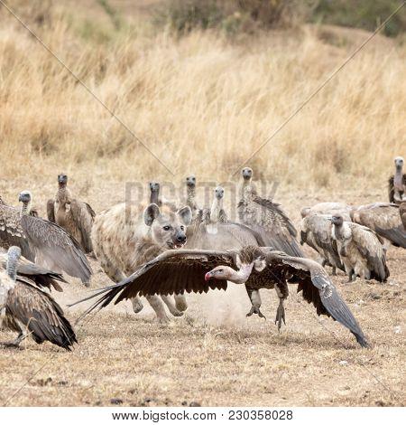 A lone hyena chases vultures away a kill. In the Masai Mara, Kenya.