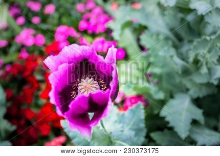 Opium can be extracted heroin image photo bigstock opium poppy flower was planted for the show in hmong tribal village in a valley of doi pui to doi suthep national park chiang mai thailand mightylinksfo Image collections