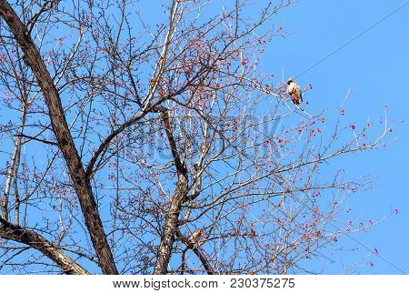 Bombycilla Garrulus, Waxwings On The Branches Of A Rowan On A Background Of Blue Sky