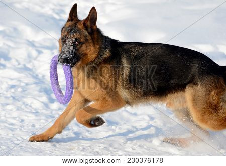 Young Puppy German Shepherd Playing In The Snow