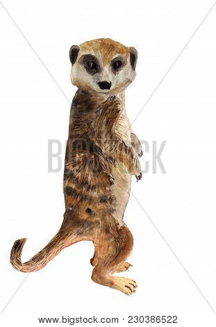Watercolor Image Of Smart Meerkat With Big Head On White Background