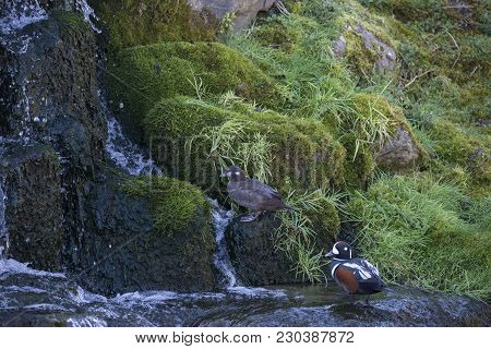 Pair of male and female Harlequin ducks Histronicus Histronicus on rocks in small waterfall