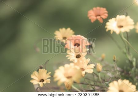 Blurred Out Of Focus Faded Yellow And Orange Daisies For Design Background
