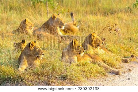 A Pride Of African Lions Relaxing In The Grass In A South African Wildlife Game Reserve, Female Lion