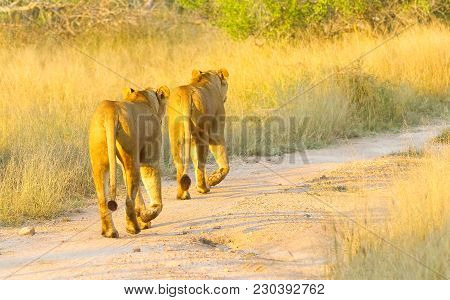 A Pride Of African Lions Walking Down A Dirt Road In A South African Wildlife Game Reserve, Female L