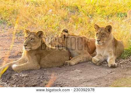African Lion Cubs In A South African Wildlife Game Reserve