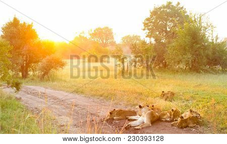 A Pride Of African Lions On A Dirt Road In A South African Wildlife Game Reserve, Female Lioness And