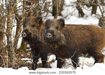 Two Curious Young Wild Boars In Winter Season ( Sus Scrofa )