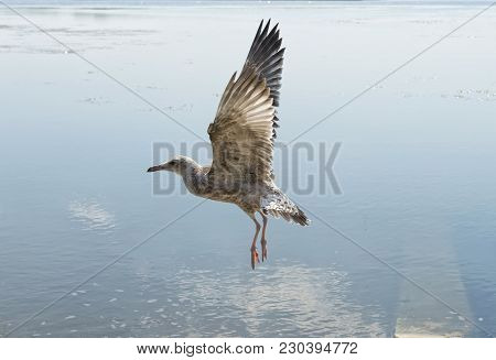 The Flight Of The Mediterranean Gull On The Surface Of The River, The Moment Of Wings Flapping