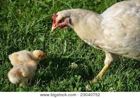 White Broody Hen With Chicks