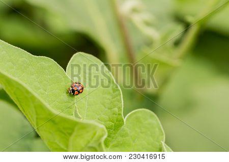 Macro Close Up Of A Ladybug Beetle On A Bright Green Leaf