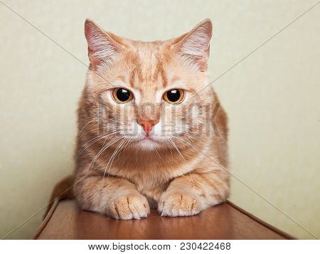 The Peach Striped Cat Lies On Brown A Sofa Handrail Against Green Wall-paper, With The Big Surprised