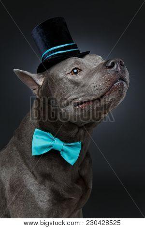 Beautiful Young Blue Thai Ridgeback Dog In Black High Hat And Blue Bow. Studio Shot On Black Backgro