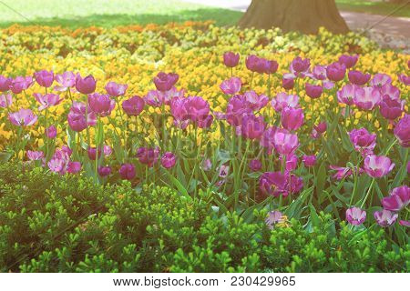Purple Tulip Flowerbed Was Seen In Washington D.c., Usa. The Photo Was Taken In The Floral Library W
