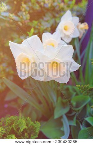 Flower Bed With White Narcissus In Philadelphia City Center, Pennsylvania, Usa. Sunlight Toned