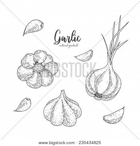 Vector Garlic Hand Drawn Illustration In The Style Of Engraving. Detailed Vegetarian Food Drawing. F