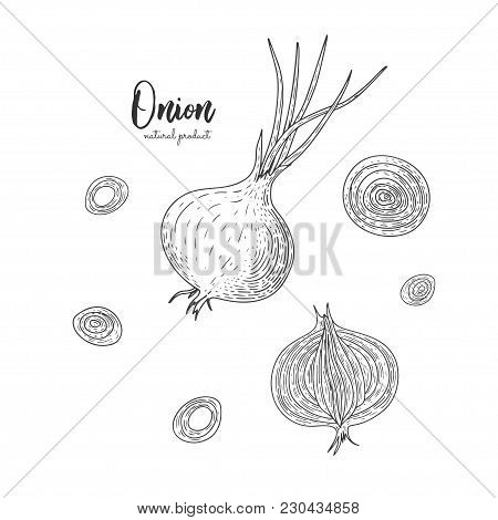 Vector Onion Hand Drawn Illustration In The Style Of Engraving. Detailed Vegetarian Food Drawing. Fa