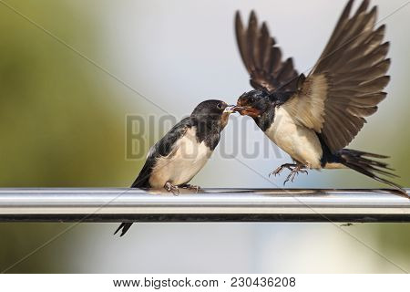 Swallow - Feeding Offspring In All Its Glory