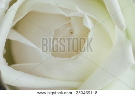 Beautiful White Roses In Close Up View Macro Concept To Present Rose Texture And Pattern For Backgro