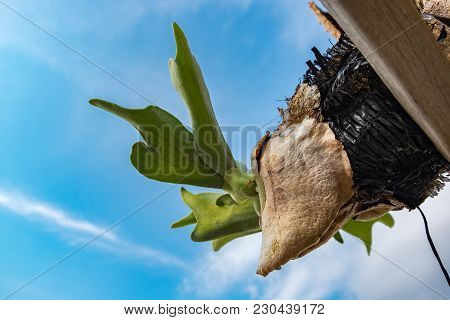 Selective Focus And Closed Up Image Staghorn Ferns (platycerium Holttumii) Plant Over Blue Sky Backg
