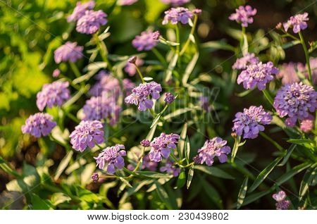 Iberian Lilac Against The Background Of Green Leaves