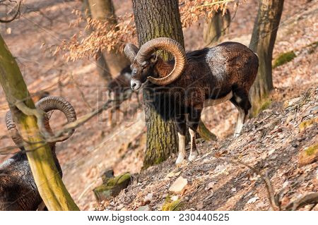 The Moufflons In The Forest In Winter Season. 3 Moufflons Climb On The Steep Hill. Wild Animals With