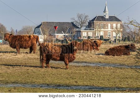 Highland Cattle Grazing In Nature Reserve At The Flood Plains In The Dutch Delta Rivers. Cows That A