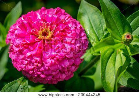 A Beautiful Pink Zinnia Flower In Full Bloom In The Sun.
