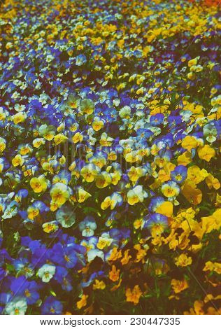 Bright And Colorful Pansies Pictured In Washington D.c., Usa. Flowers Are Located In The Floral Or T