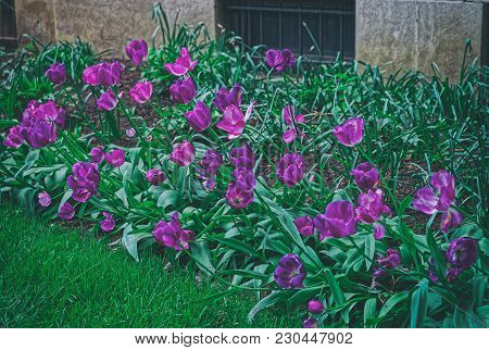 Dark Purple Tulips Were Photographed In The Park In Washington D.c., Usa. The Tulip Is A Eurasian An