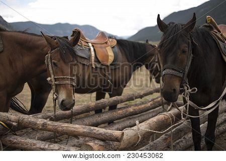 Walking Dark Brown Horses In Caucasus Mountains