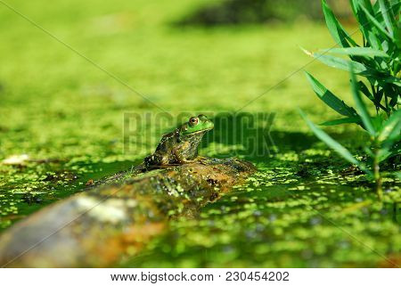 A Large Green Frog Sitting On A Floating Log In A Swamp With A Light Green Natural Background.
