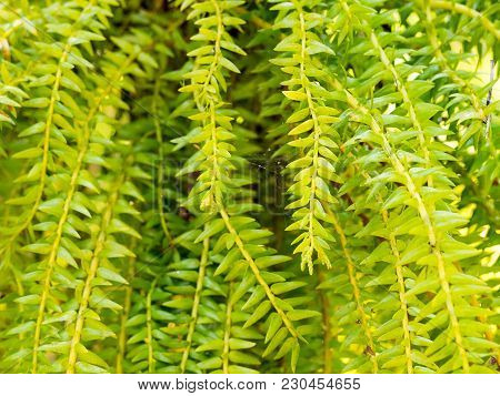 Fresh Green Huperzia Squarrosa Fern Leaves In Nature Garden Background.
