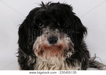 Small Havanese Is Sitting In The Studio