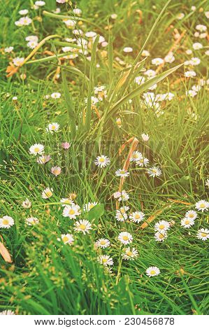 Blooming Daisies In The Garden In Brecon Beacons In South Wales In The South Of Wales Of The United