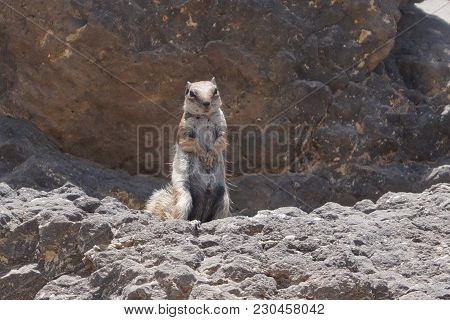 Atlantoxerus Getulus - Barbary Ground Squirrel Is The Most Famous Animal On Fuerteventura Canary Isl