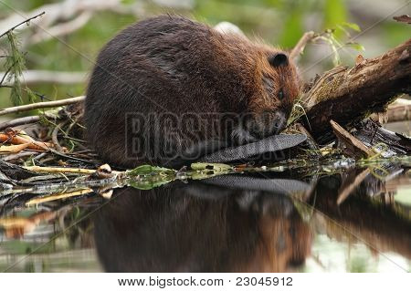 North American Beaver (Castor canadensis) taking a nap at the edge of its lodge with one eye partially open poster