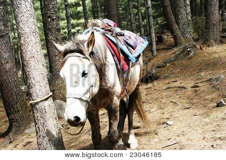 White horse at Paro Bhutan