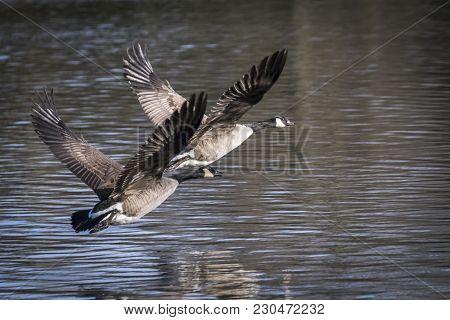 A Pair Of Branta Geese In Fligh