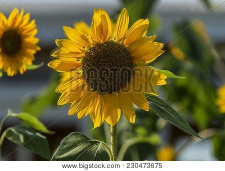 A Small Sunflower Is At Its Peak Just Before It Wilts, With Bright Sunshine Reflecting Off Of It.