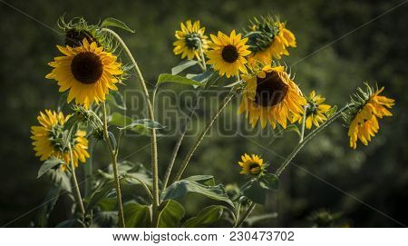 A Bunch Of Sunflowers At The Peak Of The Season Are Starting To Wilt In The Summer In Maine