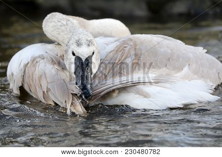 Young Trumpeter Swan In Action In The Water