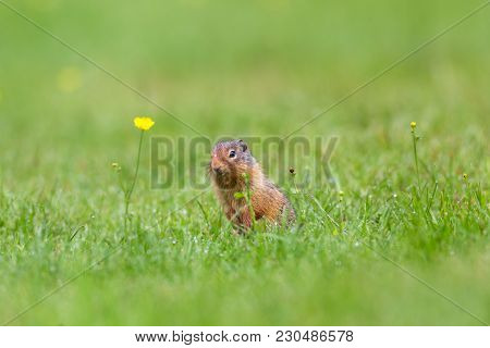 Mount Robson Park Ground Squirrel After A Rain Storm With Water Drop On Forehead