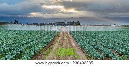 Crop Of Broccoli Plants Get Some Water Srayed On Them.