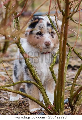 Australian Shepherd purebred dog on meadow in autumn or spring, outdoors countryside. Blue Merle Aussie puppy, 2 months old.