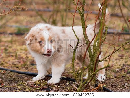 Australian Shepherd purebred dog on meadow in autumn or spring, outdoors countryside. Red Merle Aussie puppy, 2 months old.