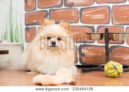 Dog Breed Pomeranian Beige Color Lying On The Floor Near His Toys And Cups