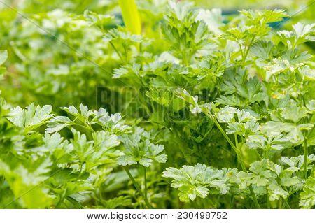 Fresh Green Parsley Growing In Garden. Parsley Macro. Parsley Bed. Natural Herb Planting. Flavoring