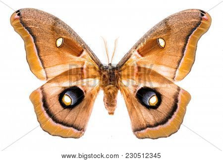 Antheraea polyphemus moth isolated on white background