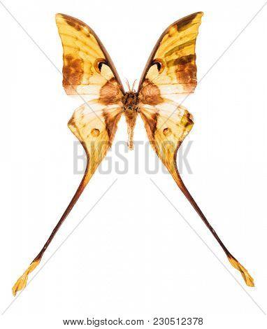 Malaysian moon moth (Actias maenas) isolated on white background